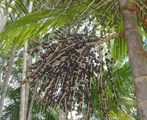 Acai-tree-small